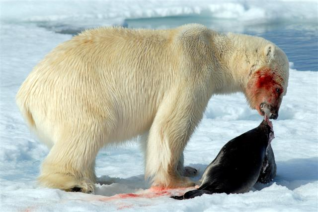 Polar bear that cought a seal (Photo: GettyImages)