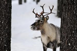 (Photo: Getty Images) Reindeer in the wild.