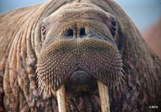 Why Changing Pacific Walrus Haulout Habits Are Worrying