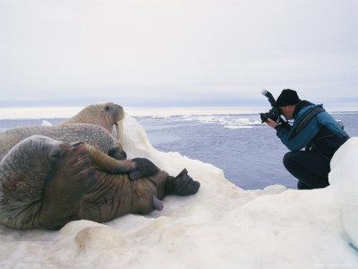 paul-nicklen-photographs-three-atlantic-walruses