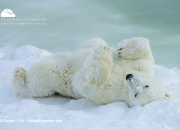 polar_bear_lazy