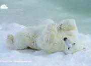 polar_bear_lazy