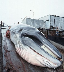 minke-whale-is-dragged-up-ramp